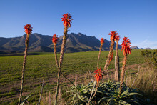 Aloes With Many Beautiful Red Flowers In The Rising Sun.