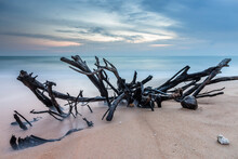Tree Roots Drift Wood On A Beach