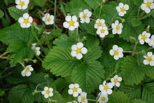 Strawberries Bloom Under The Sun. Small Open Strawberry Flowers With Five White Petals And A Yellow Center Stand On Thin Green Stems. Strawberries Grow Among Green Leaves And Grass.