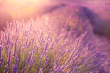 Lavender Flowers In Provence, France. Macro Image, Shallow Depth Of Field. Beautiful Nature Background