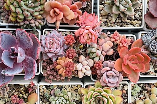 Canvas Print Rare colorful succulent plants top view background