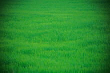 Endless Fields Of Green Grass In Russia