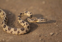 Many-spotted Cat Snake, Large-spotted Cat Snake And Marbled Cat-eyed Snake
