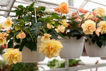 Closeup Of Begonia Plant In A White Pot With Beautiful Big Yellow Flowers And Dark Green Leaves, Photographed In Greenhouse. Concept Of Modern Large Hothouse With Beautiful Flowers.