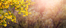 Autumn Panorama With Yellow Maple Leaves On Blurred Background, Autumn Background