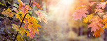 Autumn Forest With Colorful Maple And Oak Leaves On The Trees In The Rays Of Sunlight. Picturesque Autumn Background, Panorama