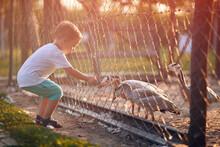 A Little Boy Feeding Ducks In The Coop Through The Fence. Farm, Countryside, Summer
