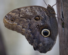Giant Owl Butterfly (Caligo Eurilochus) In Butterfly Garden Selvatura Park Monteverde, Costa Rica