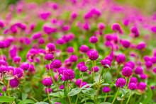 Bright Juicy Flower Bed Of Purple Flowers Gomphren