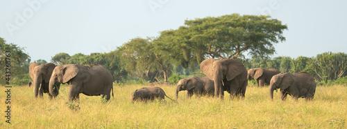 Canvas Print African elephant, Loxodonta africana