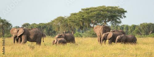 Photo African elephant, Loxodonta africana
