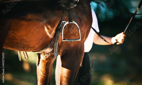 Fotografie, Obraz A rear view of a bay horse, which is wearing a stirrup, which waved its dark tail