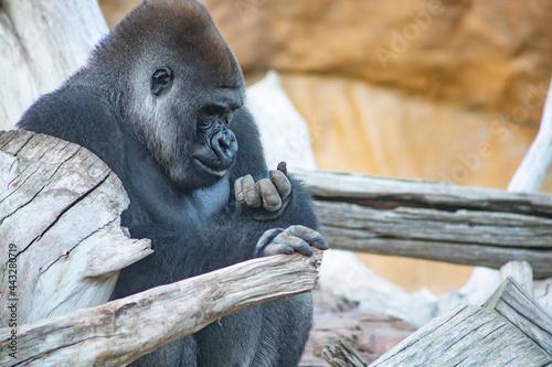 Imagen de un gorila mirando la comida que tiene entre sus manos. Fototapeta