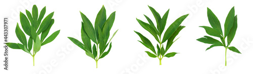 Fotografia, Obraz Set of green peony leaves on white isolated background.
