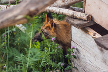 Red Fox In Summer, After Molting, Surrounded By Greenery And Clover Close-up