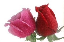 Two Rose Buds - One Pink One Red With Dew Drops Against A White Background