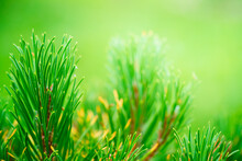Green Background Of Detailed View Of The Needles Of A Pine Growing At The Branches