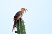 Guira Cuckoo (Guira Guira), Isolated, Perched On Top Of A Cactus Feeding On A Gecko