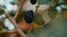 Fresh Strawberries In A Garden Bunch Of Ripe Blackberry Fruits On A Branch With Green Leaves