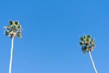 Tall Fan Palm Trees Against Blue Sky