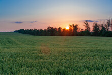 Wheat Field On A Blue Sky In The Rays Of The Setting Sun