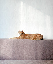 The Cat Is Resting On The Couch. The Moment When The Animal Starts To Yawn Is Caught.