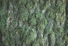 The Bark Of The Tree, The Texture Of The Wood, Overgrown With Moss. The Bark Of A Thick Deciduous Tree Can Be Seen As A Delicate Layer Of Moss Which Gives A Greenish Color. Closeup,macro Photography