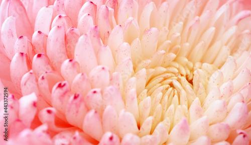 Tela Chrysanthemum flower macro shot.