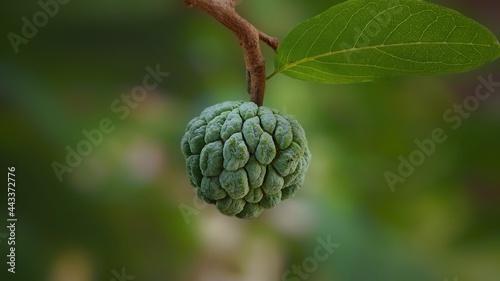 Photo custard apple