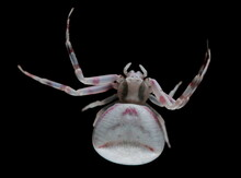 Crab Spider, Pink-spotted Misumena Vatia Isolated On Black Background, Clipping Path