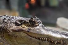 Crocodile Face Close-up. Open Eyes Of A Predator.