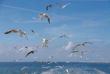 Stop Motion Of Birds Flying In The Air With Blue Sky, Selective Focus Of A Group White And Grey Seagulls Following The Ferry Ship While The Boat Is Sailing, Texel Island, Noord Holland, Netherlands.