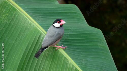 Fotografija Java sparrow perched on a banana leaf