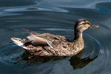 Close-up Of A Swimming Female Duck, Which The Sun Shines On In A Pond With Bright Blue Water.