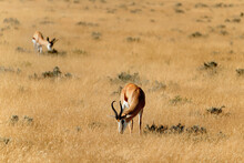 Springbok In Etosha National Park, Namibia.