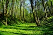 Leśny wąwóz wiosną soczysta zieleń