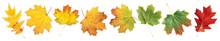 Various Autumn Maple Leaves