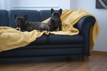 Two French Bulldogs On The Sofa In The Living Room. The Interior Is In The Scandinavian Style. They Sit Aristocratically.