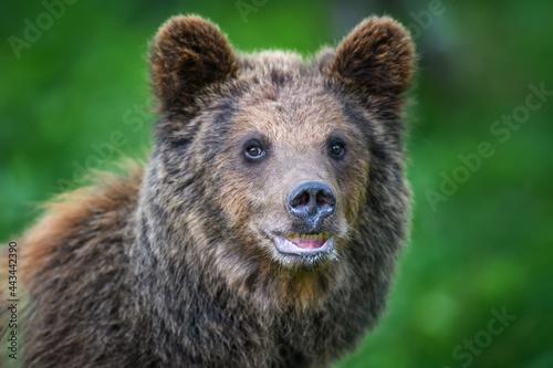 Foto Portrait wild Brown Bear in the summer forest