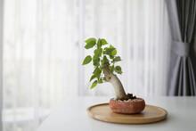 Ficus Religiosa Bonsai In Small Plant Pot On White Desk