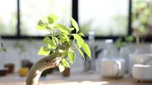 Ficus Religiosa Bonsai Closeup With Sunlight Indoor Plants