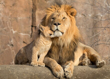 The Baby Lion Is Caressing The Father Lion