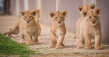 A Few Baby Lions Are Looking Curiously