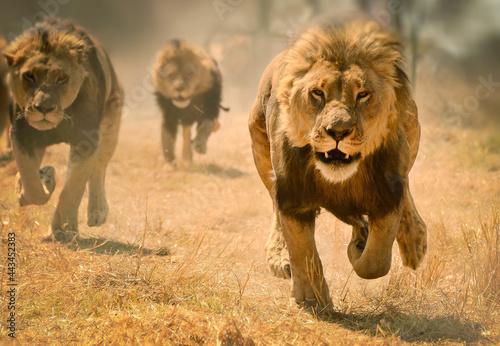 lion run Fototapet