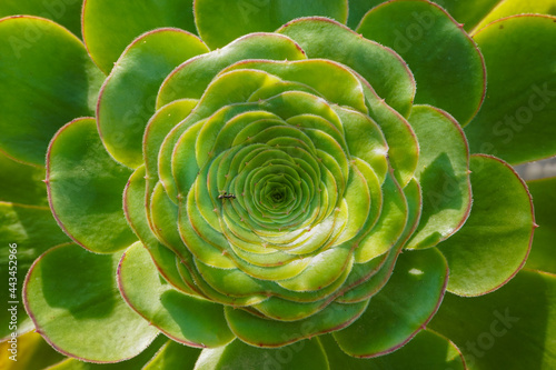 Carta da parati Close-up of the rosette of an Aeonium undulatum plant