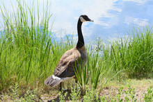 Canada Goose Standing At Lake Edge With Luxurious Springtime High Wild Grasses