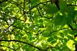 drzew, charakter, zieleń, feuille, feuille, bory, jary, galąz, lato, liści, galąz, światło słoneczne, niebo, drzew, roślin, pora roku