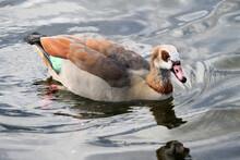 A Close Up Of An Egyptian Goose