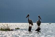Pink Pelicans On A Blue Lake Against The Background Of Dry Trees
