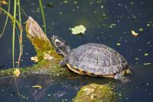 Beautiful Red-eared Turtle In The Sun.